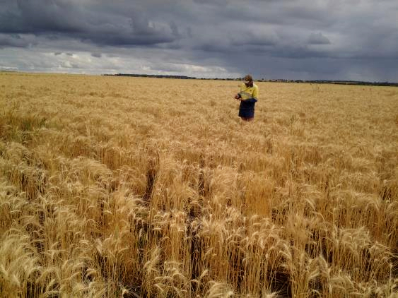 Wheat crop Qld central highlands