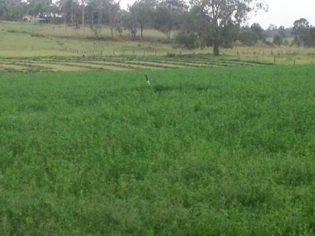 Lucerne treated with Rural Boss 2015